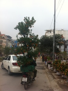 Tet tree on a motorbike by C Campbell